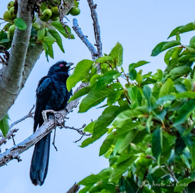 Eastern Koel or Storm Bird.