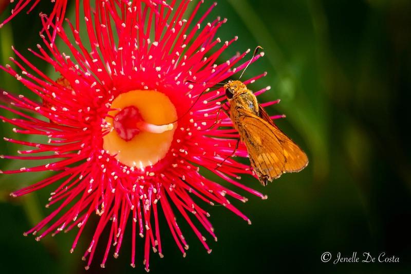 Gum  blossum with a thirsty moth.