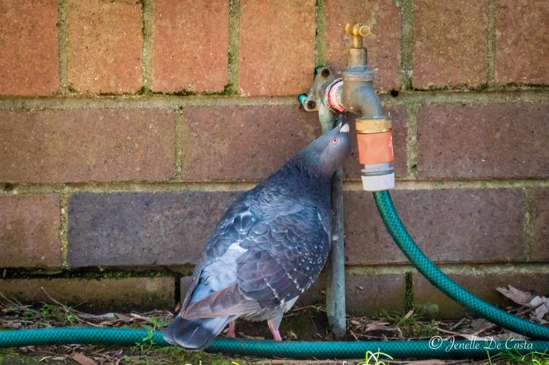 Thirsty work being a pigeon.