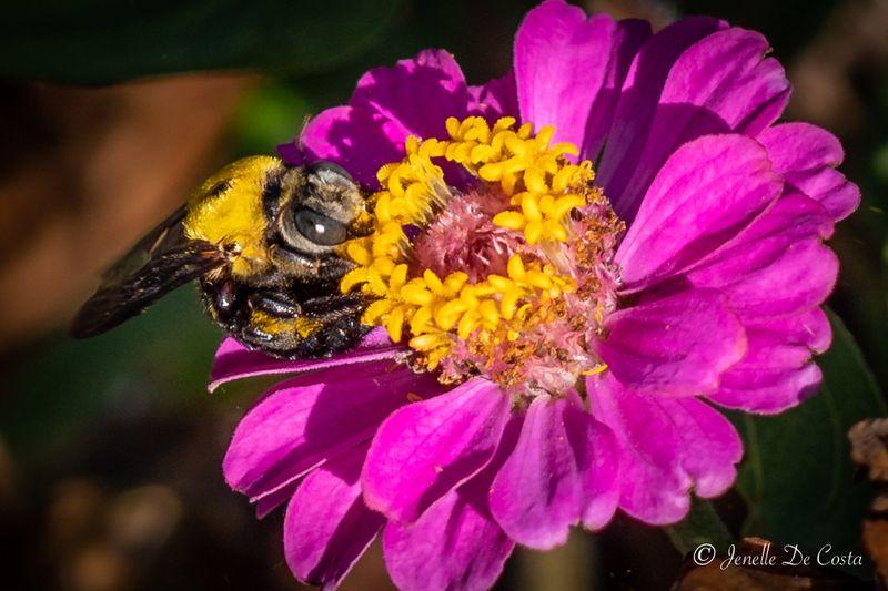First capture of a Carpenter Bee.