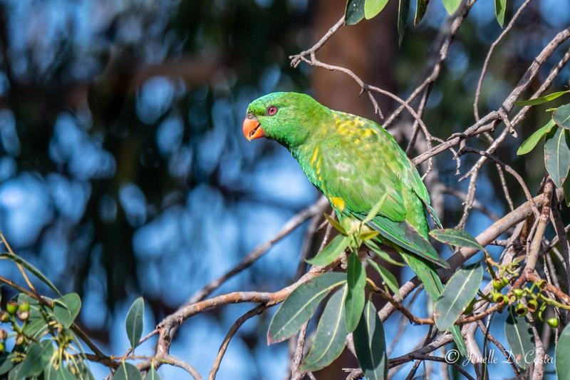 My first shot of a Scaly-Breasted Lorikeet.