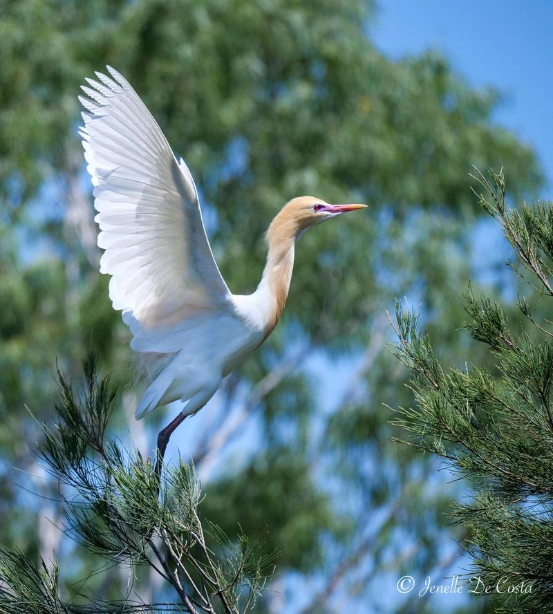Egret about to take off.