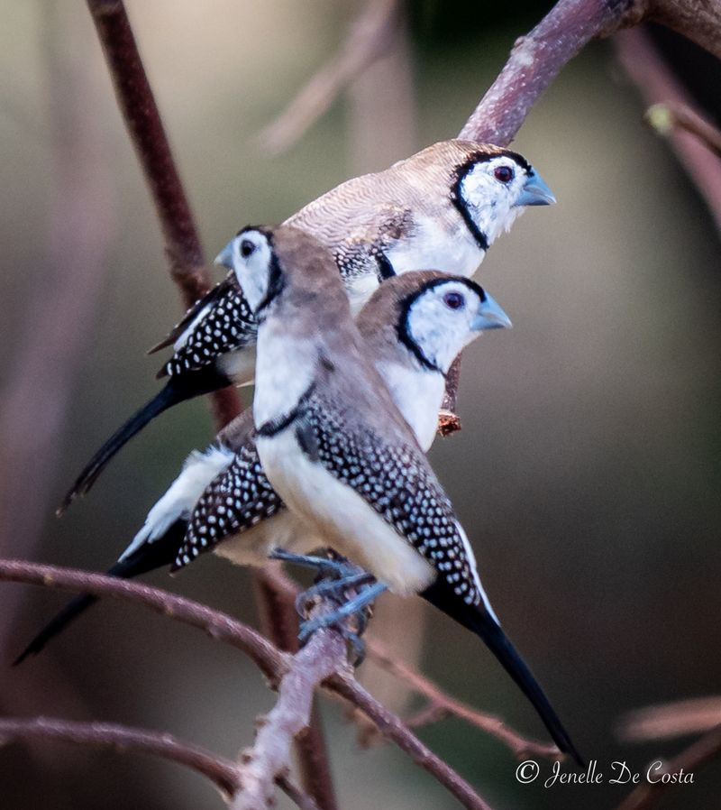 Three Double-barred Finches.