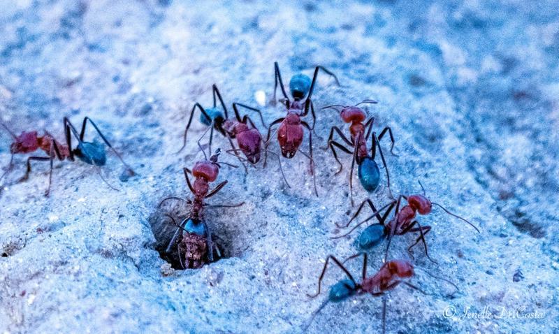Meat Ants.
