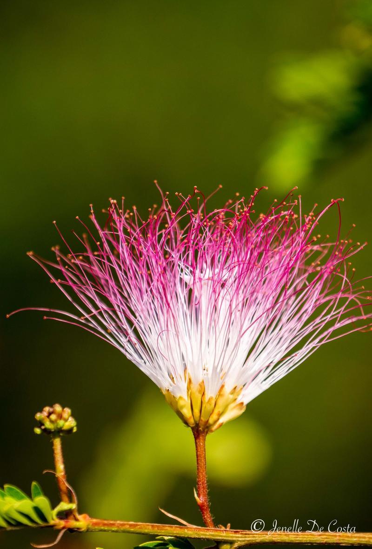 Pom Pom flower.
