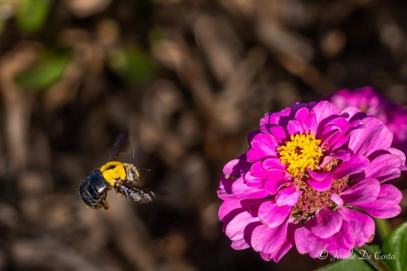 Carpenter Bee in flight.