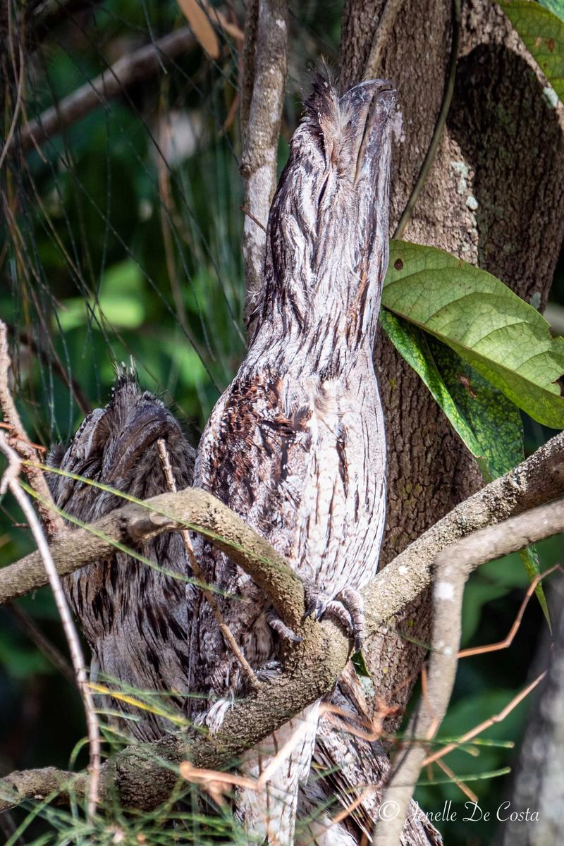 Tawny Frogmouths snoozing in disguise.