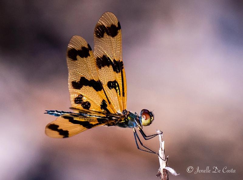 Tiger Dragon-fly.