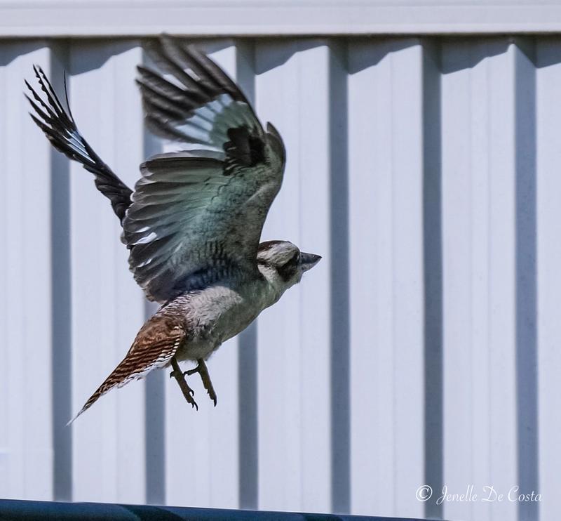Kookaburra on the move.