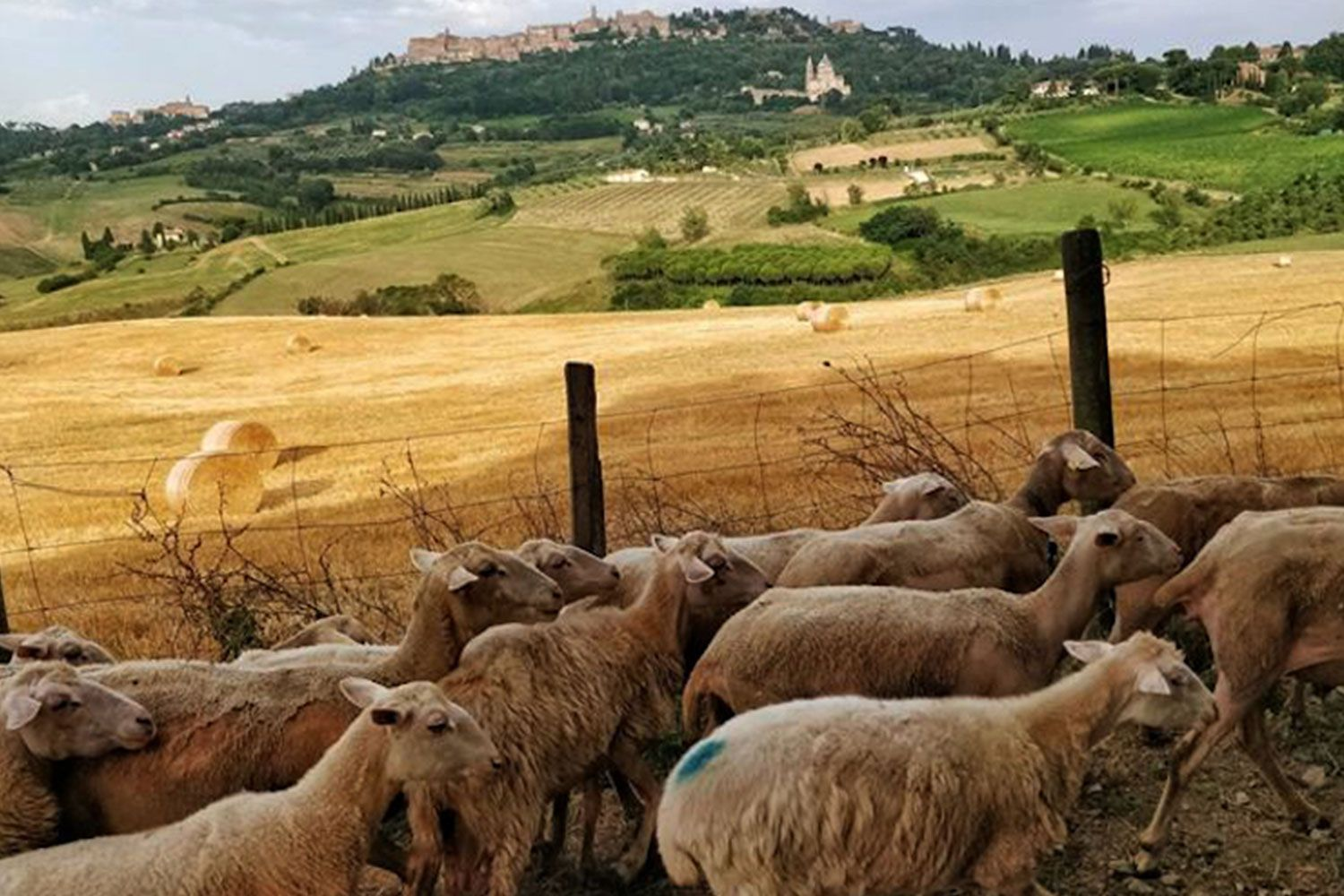Sheep on their way to be milked with Montepulciano in the background.