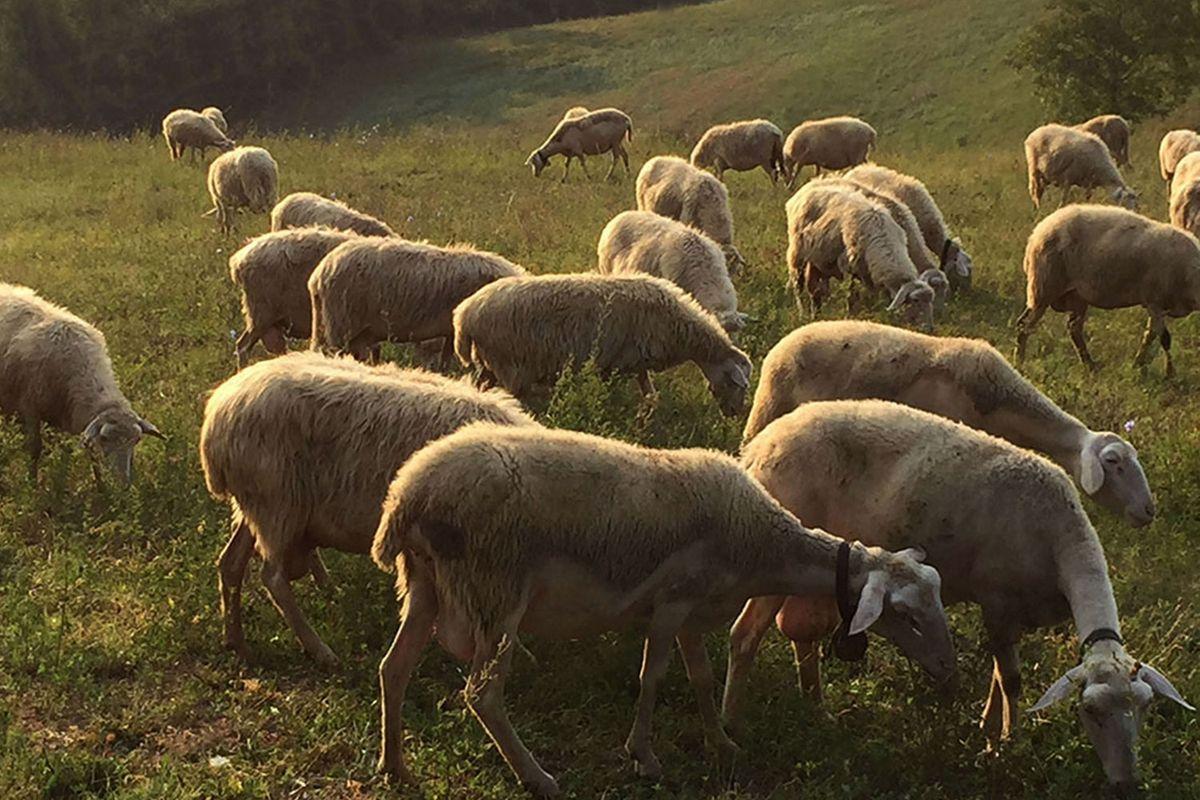 The Cugusi sheep.