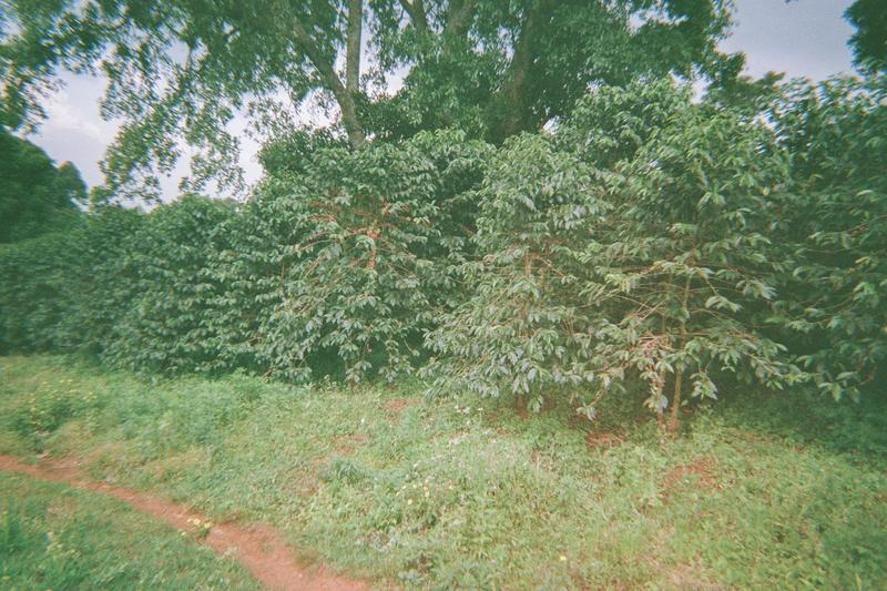 One of our farmers gardens in Sipi.