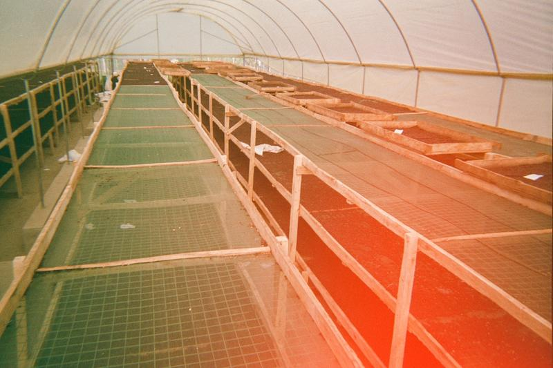 Natural coffee drying in the greenhouse.