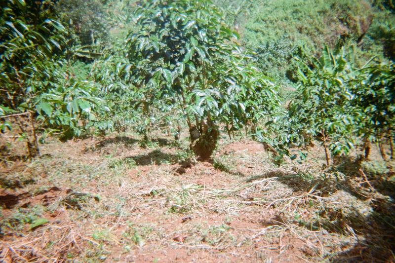This is a coffee plantation and it is well maintained. Preparing to sell Zukabora Lm in Bukhanakwa buying station.
