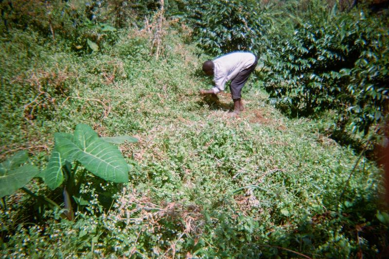 This man is working in his coffee plantation for the best yield in October - December