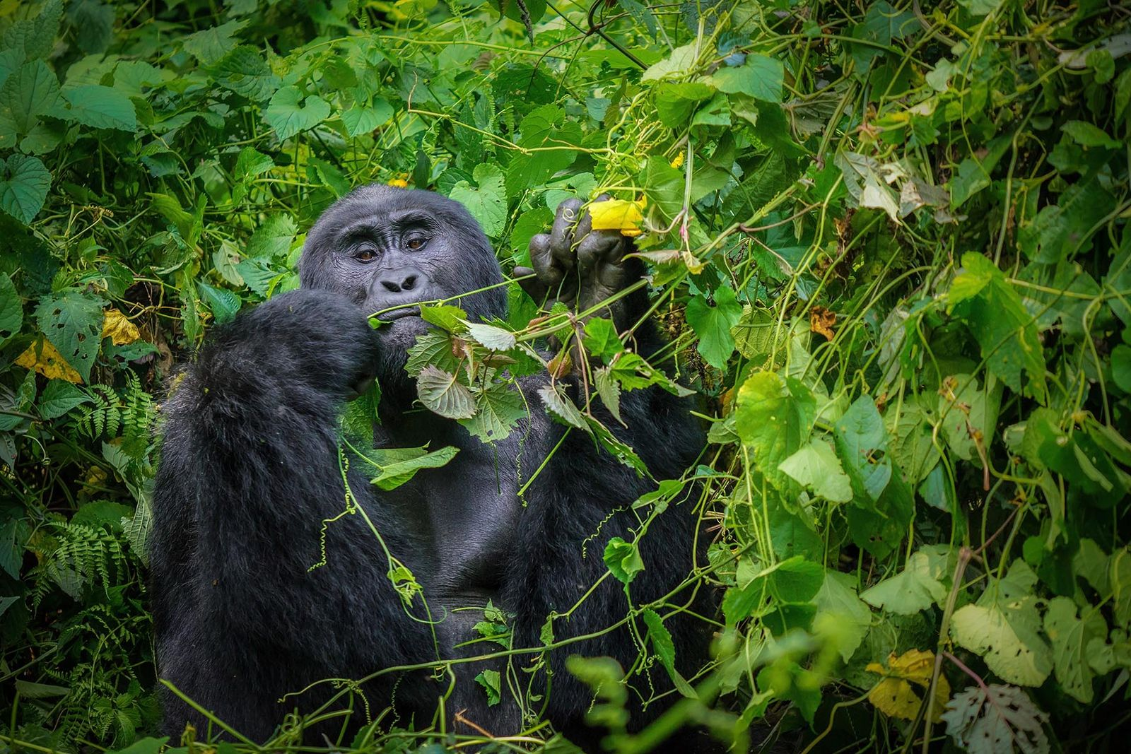 5 DAYS GORILLA HABITUATION FLY PACKAGE
