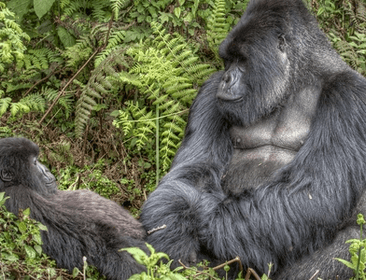 13 DAYS GORILLA HABITUATION, WILDLIFE & THE NILE