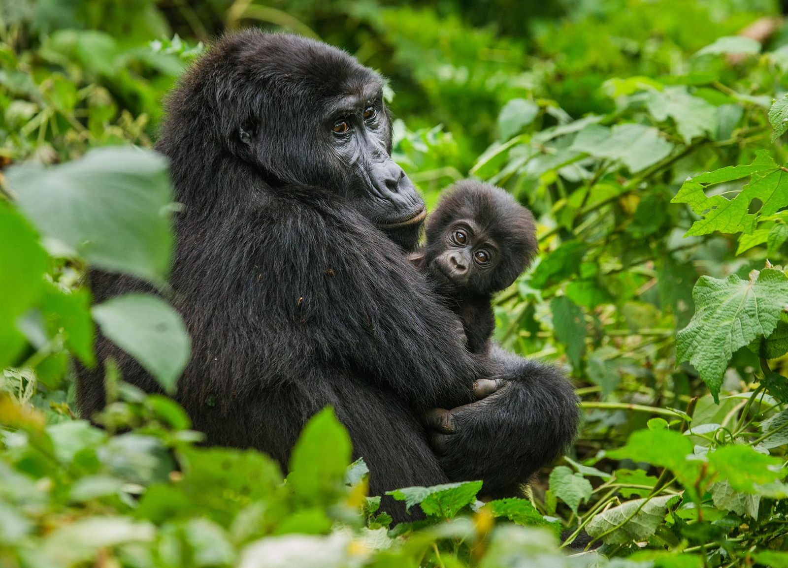 9 DAYS GORILLAS & NORTHERN TANZANIA CLASSIC SAFARI