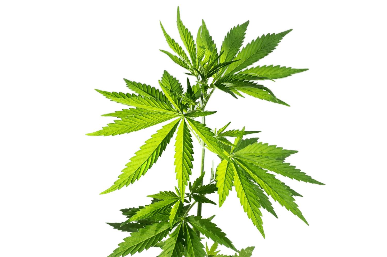 Understanding Cannabis Series: Origins