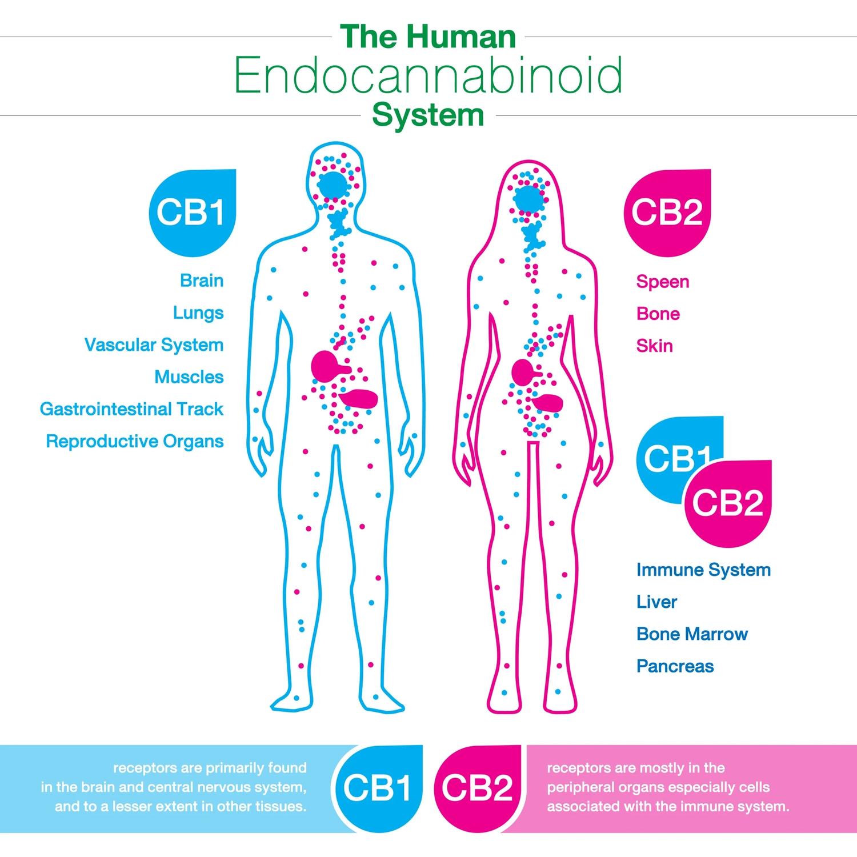 Understanding Cannabis Series: The Endocannabinoid System