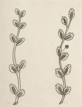 'Ten Leaves with Flower at Side' and 'Eleven Leaves'