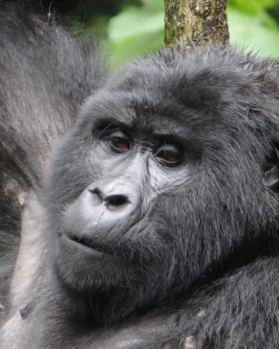Four-Day Gorillas and Golden Monkeys via Kigali