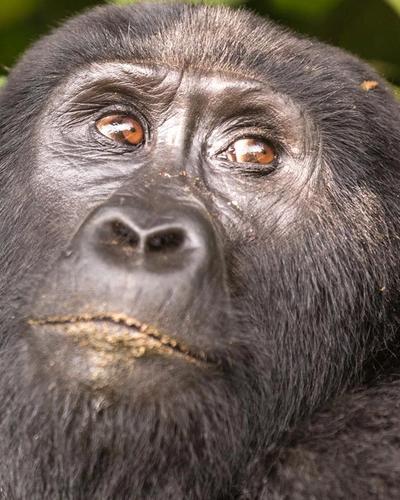 Six-Day Gorillas and Primates