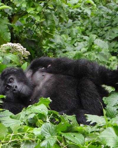 Four-Day Gorilla Safari via Entebbe/Kampala