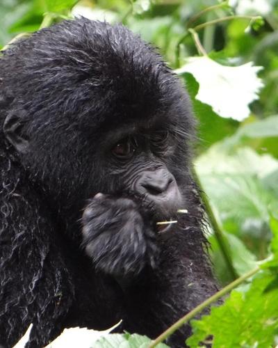 Six-Day Gorillas and Chimpanzee Habituation