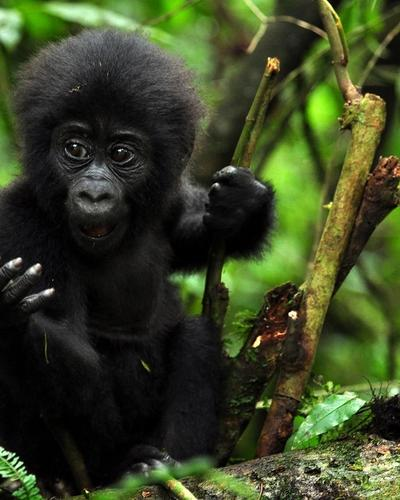 Five-day Gorilla Safari