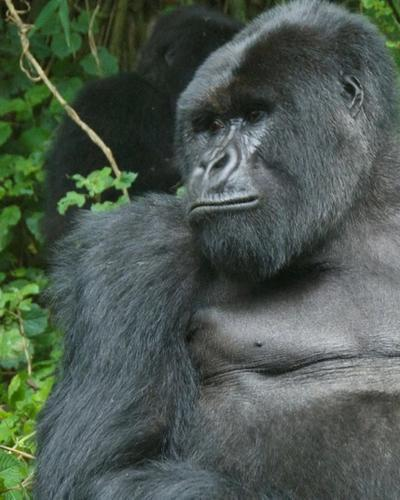 Four-Day  Gorilla Habituation Experience Fly Package