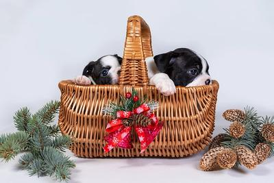 Two cute Boston Terrier puppies in a wicker basket wrapped like a cristmas gift with a red ribbon and thistle