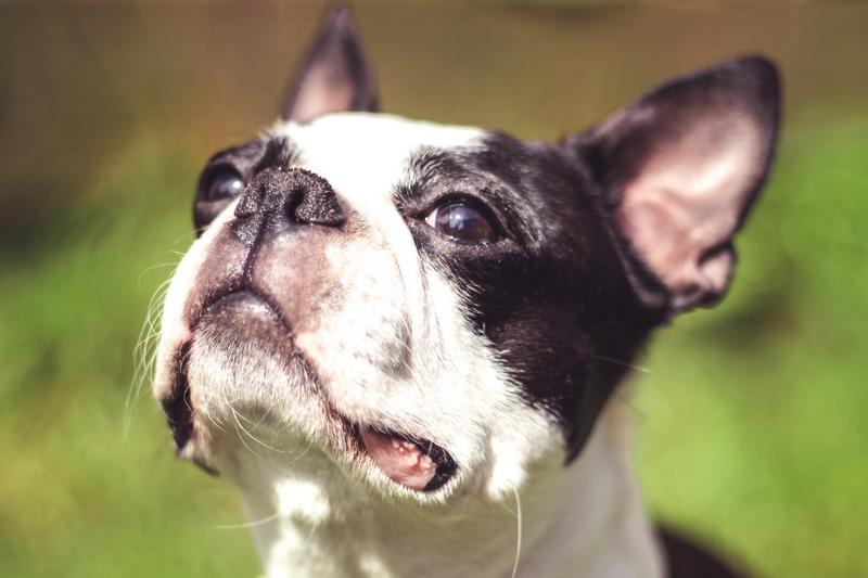 boston terrier prices may be expensive especially when you look at it long term
