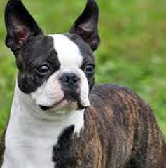 What to Know About Boston Terriers