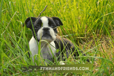 boston terrier puppy lying on a grassy field