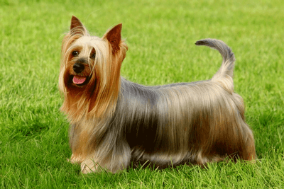 Silky terrier laughing and standing in a grassy lawn