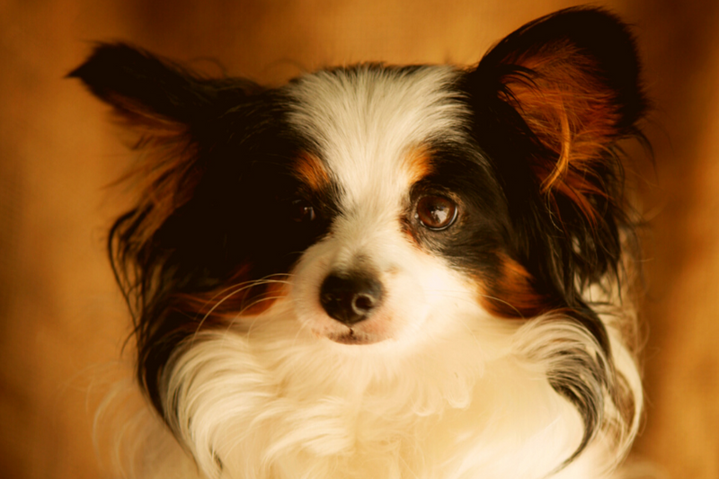 Papillions are well loved by every dog parent and is one of the best mix for long-haired Boston Terrier mixed breeds