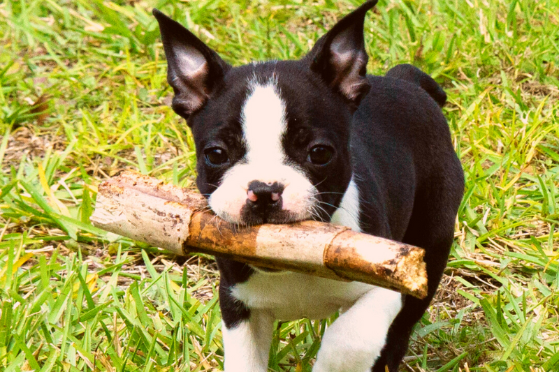 What To Expect With Training A Boston Terrier Puppy