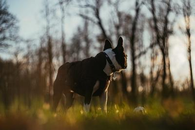 Boston Terrier In An Outdoor Park with Trees on the background