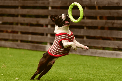 Boston Terrier training rounds with hoops
