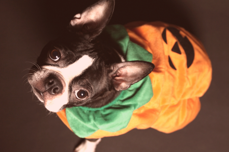 What Is A Boston Terrier's Temperament With Kids?