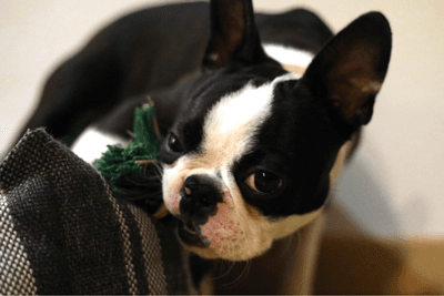 boston terrier chewing
