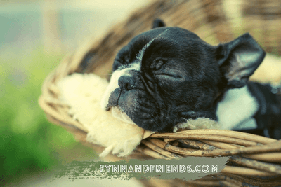 sleeping boston terrier puppy in a wicker basket