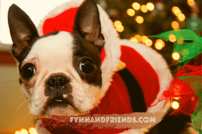 boston terrier puppy in a Santa Claus getup