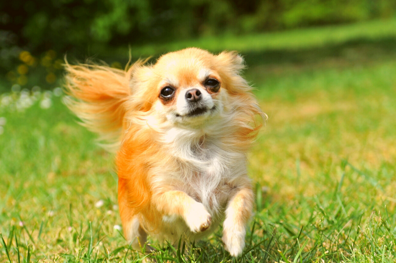 Chihuahua running in a field
