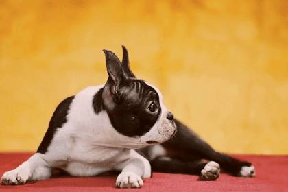 Where To Rescue Boston Terriers in California