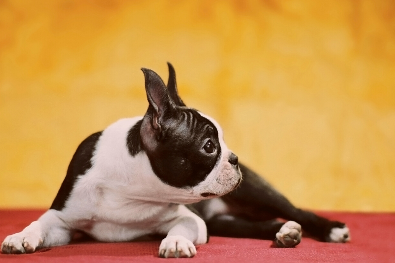 Boston Terrier lying in a red mat with a yellow background