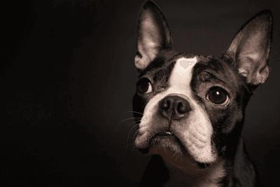 Boston Terrier against a black background