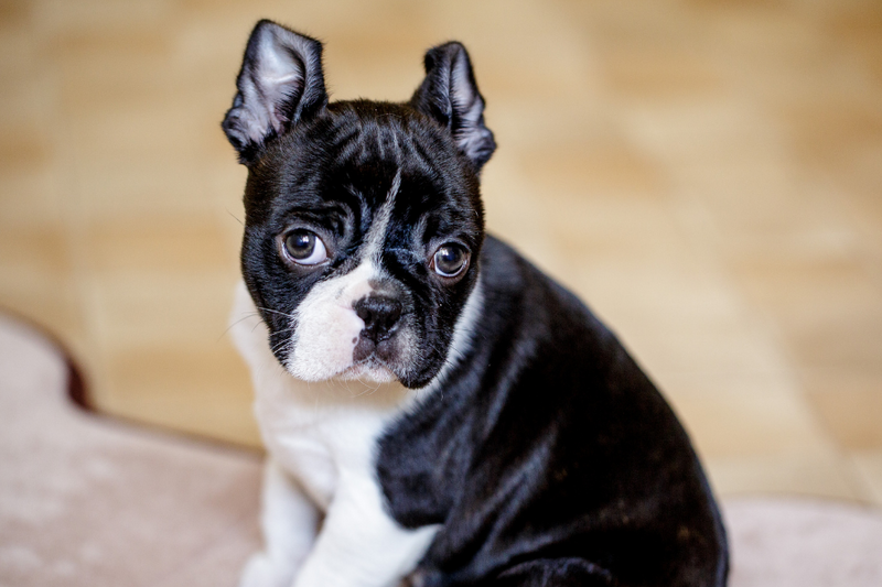 Everything You Need To Know About The Boston Terrier Weight Chart