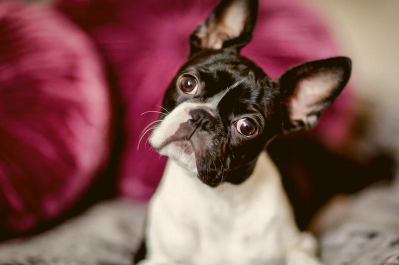 Boston Terrier sitting on a sofa